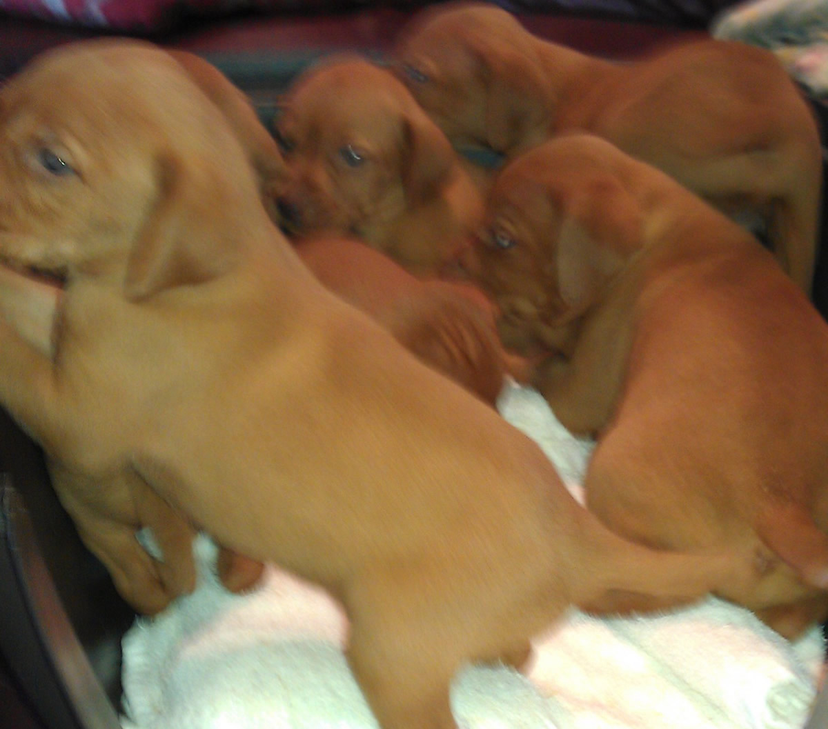 Puppies available in April